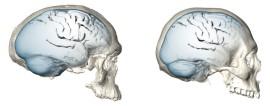 Evolução do Cerebro